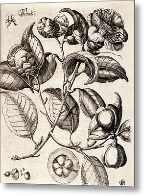 Camellia Japonica Flowers Metal Print by Natural History Museum, London