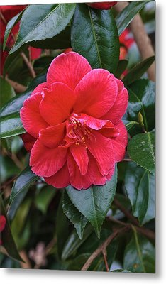 Camellia Japonica 'mercury' Metal Print by Geoff Kidd