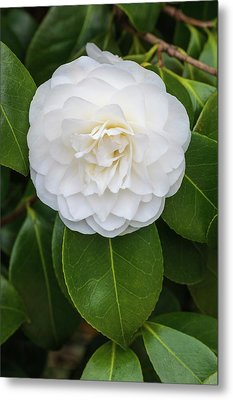 Camellia Japonica 'primavera' Metal Print by Geoff Kidd