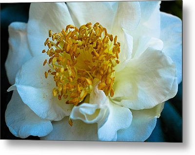 Camellia Metal Print by Julie Andel