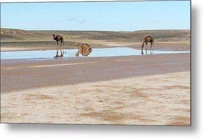Camels And Drying Saharan Lake Metal Print