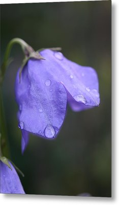 Campanula After The Rain Metal Print by Mark Severn