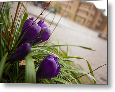 Metal Print featuring the photograph Campus Crocus by Erin Kohlenberg