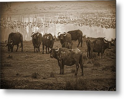 Can Not Roller Skate In A Buffalo Herd Metal Print by Frank Feliciano