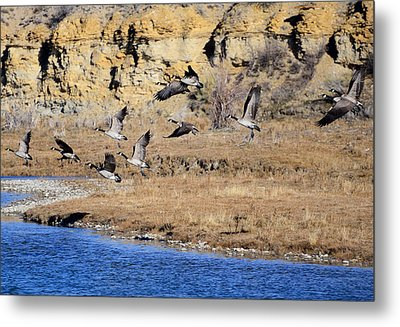 Canada Geese Along The Green River Metal Print