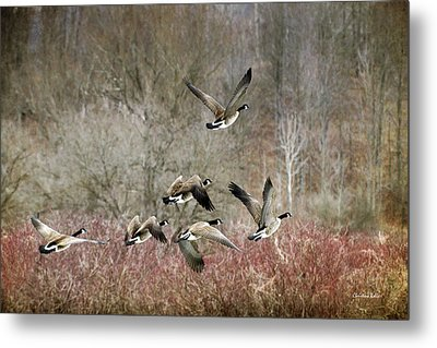 Canada Geese In Flight Metal Print by Christina Rollo