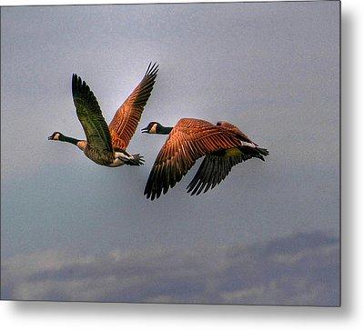 Canada Geese In Flight Metal Print by Larry Trupp