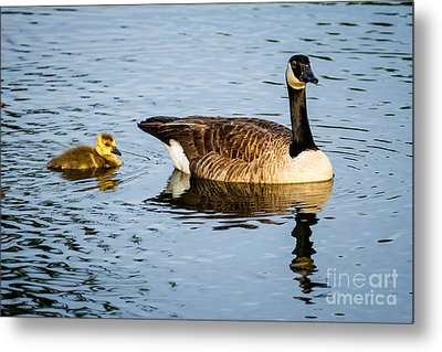 Canada Goose And Gosling Metal Print by Dawna  Moore Photography