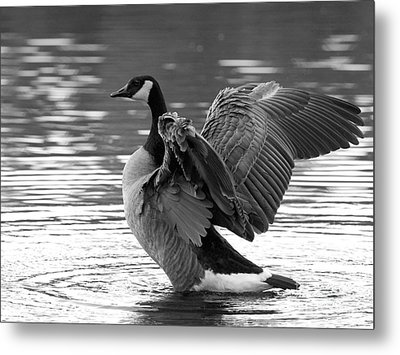 Canada Goose Black And White Metal Print by Sharon Talson