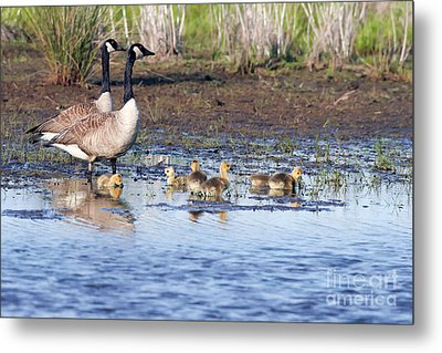 Canada Goose Family Metal Print by Martha Marks