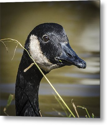 Canada Goose Portrait Square Metal Print