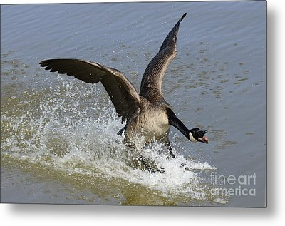 Canada Goose Touchdown Metal Print by Bob Christopher