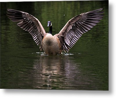 Canada Goose Wing Display - C3448d Metal Print by Paul Lyndon Phillips