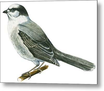 Canada Jay Metal Print by Anonymous
