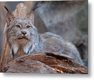 Metal Print featuring the photograph Canada Lynx by Bianca Nadeau