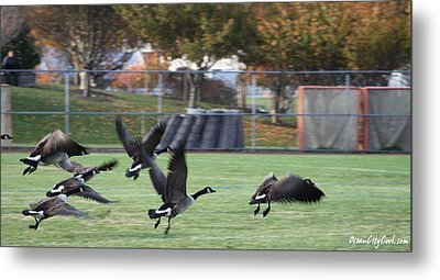 Metal Print featuring the photograph Canadian Geese Taking Flight by Robert Banach