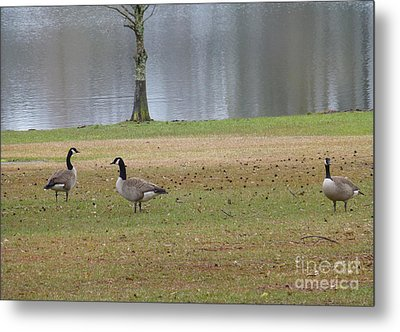 Canadian Geese Tourists Metal Print by Joseph Baril