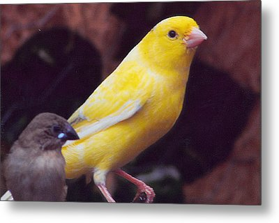 Canary And Finch Metal Print by Barb Baker