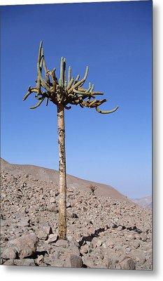 Candelabra Cactus Atacama Desert Chile Metal Print by Tui De Roy