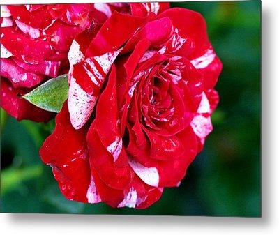 Candy Cane Rose Flower Metal Print by Johnson Moya