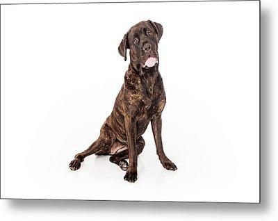 Cane Corso Dog Sitting To Side Metal Print by Susan Schmitz