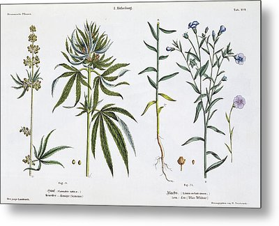 Cannabis And Flax Metal Print