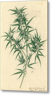 Cannabis Sativa Metal Print by Natural History Museum, London
