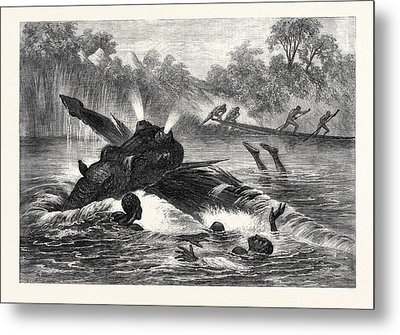 Canoe Destroyed By A Hippopotamus On The River Zambesi Metal Print by South African School
