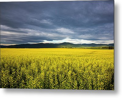 Canola Field In Morning Light Metal Print