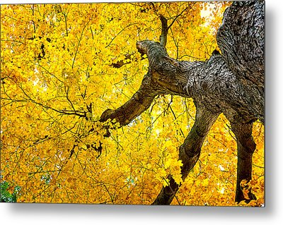 Canopy Of Autumn Leaves Metal Print by Tom Mc Nemar