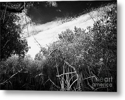 Canopy Of The Mangrove Forest In The Florida Everglades Usa Metal Print