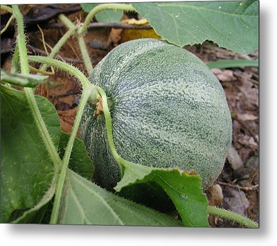 Cantaloupe  Metal Print by Jennifer Wheatley Wolf