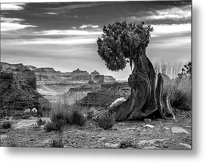 Canyon And Twisted Pine Metal Print by Lori Grimmett