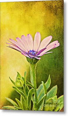 Cape Daisy Metal Print by Lois Bryan