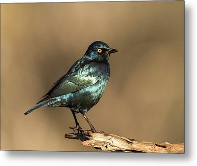 Cape Glossy Starling On A Perch Metal Print