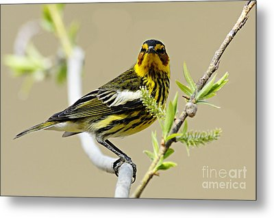 Cape May Warbler Metal Print by Larry Ricker