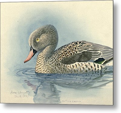 Cape Teal Metal Print by Dreyer Wildlife Print Collections