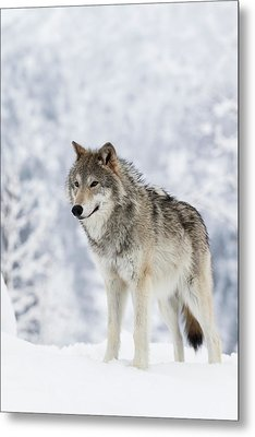 Captive  Female Tundra Wolf In Snow Metal Print