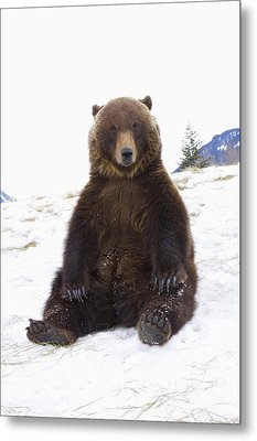 Captive Grizzly During Winter Sits Metal Print