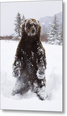Captive Grizzly Stands On Hind Feet Metal Print