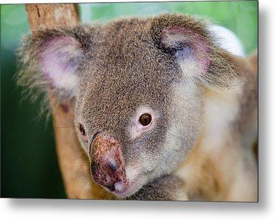 Captive Koala Bear Metal Print by Ashley Cooper