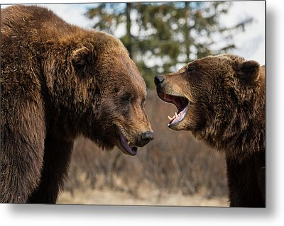 Captive  Male And Female Brown Bears Metal Print