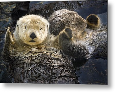 Captive Two Sea Otters Holding Paws At Metal Print