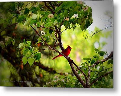 Cardinal In Dogwood Metal Print by Tara Potts