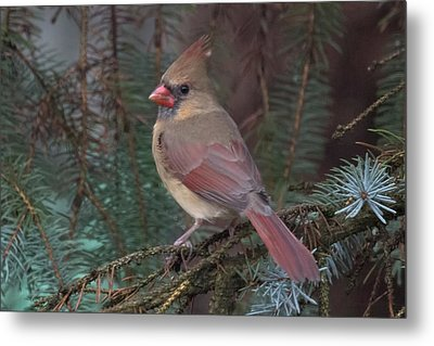 Cardinal In Spruce Metal Print by John Kunze