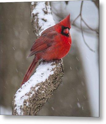 Cardinal In The Snow Metal Print
