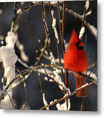 Metal Print featuring the photograph Cardinal In Winter 2 by John Harding