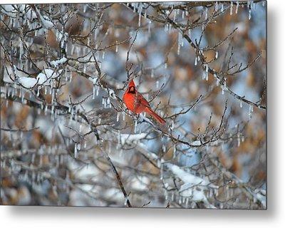 Cardinal In Winter Metal Print by Cim Paddock