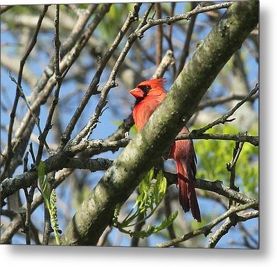 Cardinal  Metal Print by James Hammen