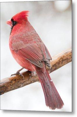 Cardinal Male In Winter Metal Print by A Gurmankin